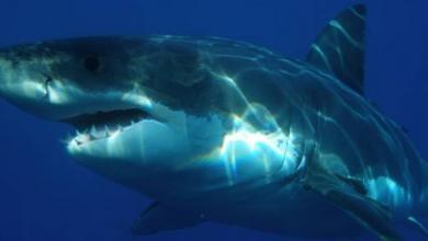 Photo of Горбатый кит спас женщину от акулы в Тихом океане