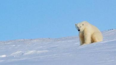 Фото Старейшая в России белая медведица умерла в Пермском зоопарке