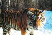 Фото В Приморском крае пытаются спасти истощенную тигрицу