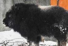 Фото В московском зоопарке родился теленок овцебыка