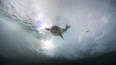 Фото Власти Бурятии обосновали необходимость отстрела байкальской нерпы