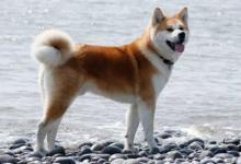 Фото Японские собаководы хотят подарить фигуристке Загитовой щенка