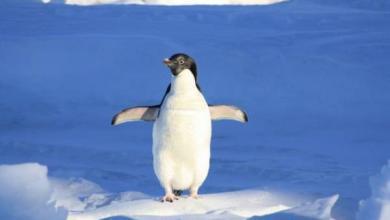 Фото Ученые обнаружили в Антарктиде 1,5 миллиона неизвестных прежде пингвинов