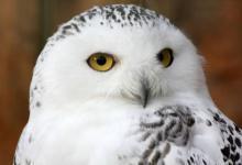 Photo of В «Мосприроде» прокомментировали появление полярной совы в Сокольниках