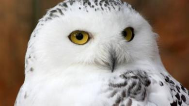 Фото В «Мосприроде» прокомментировали появление полярной совы в Сокольниках