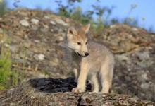 Фото Маугли из Испании рассказал, что хотел вернуться в стаю волков