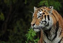 Фото Раненая в Хабаровском крае тигрица погибла