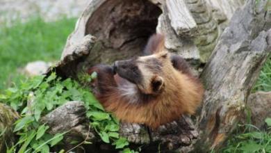 Photo of В Московском зоопарке появился на свет детеныш росомахи