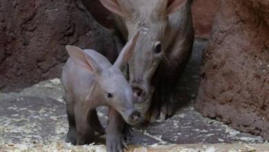 Фото В зоопарке Екатеринбурга родился детеныш трубкозуба