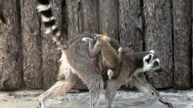 Фото В Московском зоопарке родились два детеныша кошачьих лемура