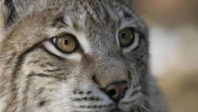 Фото В зоопарке Уссурийска детеныша рыси выкормила кошка