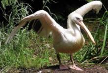 Фото В Калифорнии пеликаны посетили выпускной в университете