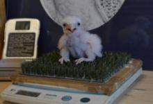 Photo of Орнитологи из МГУ восстанавливают популяцию сокола-кречета