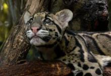 Photo of КНДР может подарить Московскому зоопарку дымчатого леопарда