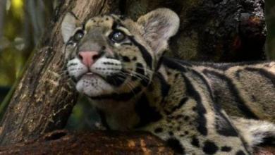 Фото КНДР может подарить Московскому зоопарку дымчатого леопарда