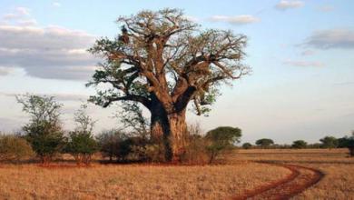 Фото Древнейшие баобабы Африки массово вымирают — ученые