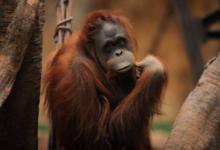 Фото В Австралии скончался старейший орангутан планеты
