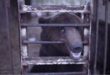 Фото Неспящие в клетках. Что не так с медведями, живущими в кафе и ресторанах?