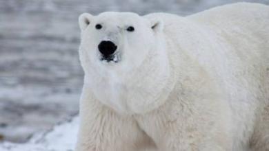 Фото В Норвегии белый медведь объелся шоколада и застрял в окне