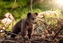 Фото ФСБ предлагает признать медведей стратегически важным ресурсом