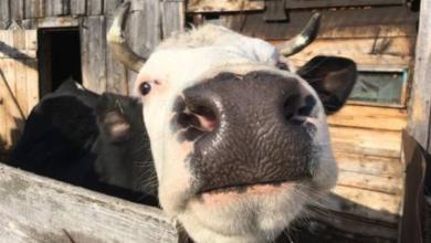 Фото В польском городе родился двухголовый теленок