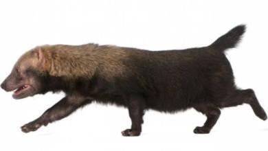 Photo of Подушечки кошачьи, а ступает по-медвежьи. Необычные животные Москвы