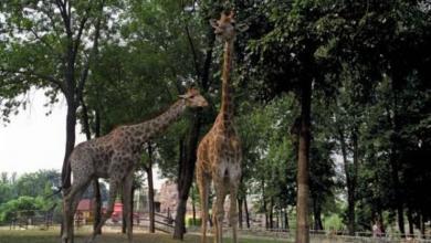 Фото Жираф Самсон из Московского зоопарка отметил 25-летний юбилей