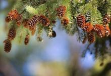 Фото Народные приметы: каким будет урожай огурцов, если в лесу много шишек?