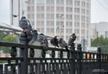Фото В Орле выявлена массовая гибель голубей