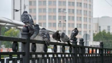 Photo of В Орле выявлена массовая гибель голубей