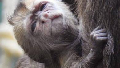Фото В Московском зоопарке родился краснокнижный капуцин плакса