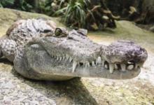Фото СМИ: в одном из городов Таиланда пытаются поймать трехметрового крокодила