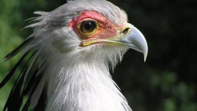 Фото В Московском зоопарке появилась птица-секретарь