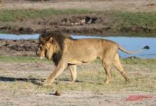 Photo of Лев сожрёт твоё сердце. Как обозреватель «АиФ» работал рейнджером в Африке