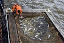 Photo of Рекордные показатели рыбной отрасли. Подведены итоги лососевой путины