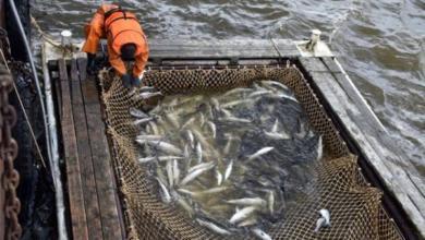 Фото Рекордные показатели рыбной отрасли. Подведены итоги лососевой путины