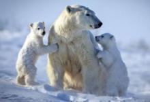 Фото В России будет разработан стандарт поведения при встрече с белым медведем