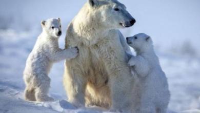 Photo of В России будет разработан стандарт поведения при встрече с белым медведем