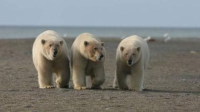 Фото Около 20 белых медведей с детенышами бродят вокруг села на Чукотке