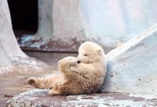 Фото Белый медвежонок из зоопарка Новосибирска переехал в Китай