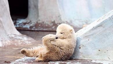 Photo of Белый медвежонок из зоопарка Новосибирска переехал в Китай