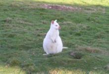 Фото Во Франции на ферме родился редкий кенгуру валлаби-альбинос