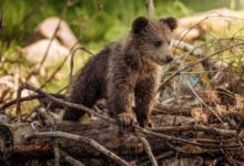 Фото Спасенный на Камчатке медвежонок переедет в Калугу