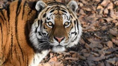 Фото В «Парке тигров» прокомментировали информацию о «переезде» тигра Амура