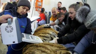 Фото Стоматологи вылечили зубы старейшему амурскому тигру Приморья Тихону