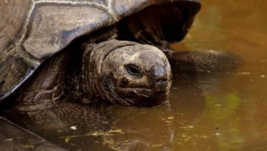 Фото На Галапагосских островах нашли черепаху, чей вид считался вымершим