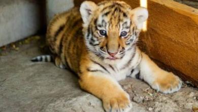 Фото Изъятый у наркодилера тигренок останется в Татарстане