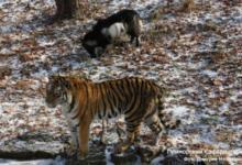 Фото В вопросах передачи тигра Амура обнаружены нарушения