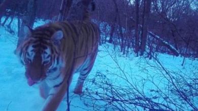 Фото В ЕАО нашли тигрицу Филиппу, которая считалась пропавшей с осени