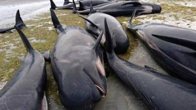 Фото Правительство Исландии продлило разрешение на китовую охоту